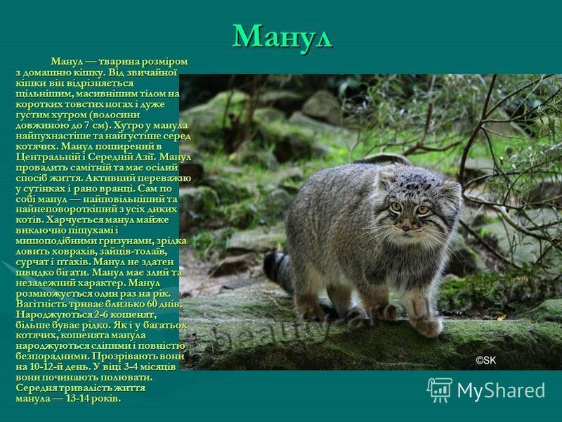 Каракал Каракал - довгоногий і стрункий хижак родини котячих, який живе в посушливих районах. Його легко впізнати по м'якій, пісочного кольору шерсті і довгим китичкам на вухах. Тривалість життя: у неволі до 17 років. Каракали тримаються поодинці і у