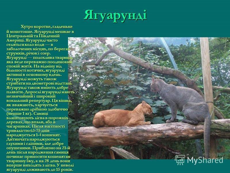 Манул Манул тварина розміром з домашню кішку. Від звичайної кішки він відрізняється щільнішим, масивнішим тілом на коротких товстих ногах і дуже густим хутром (волосини довжиною до 7 см). Хутро у манула найпухнастіше та найгустіше серед котячих. Ману