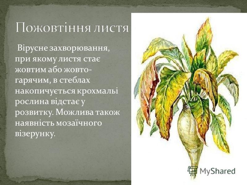 Вірусне захворювання, при якому листя стає жовтим або жовто- гарячим, в стеблах накопичується крохмальі рослина відстає у розвитку. Можлива також наявність мозаїчного візерунку.