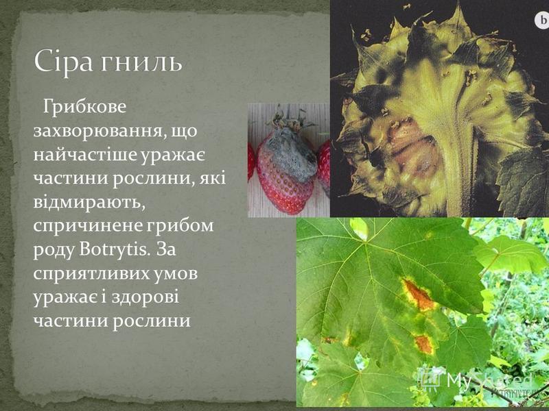 Грибкове захворювання, що найчастіше уражає частини рослини, які відмирають, спричинене грибом роду Botrytis. За сприятливих умов уражає і здорові частини рослини