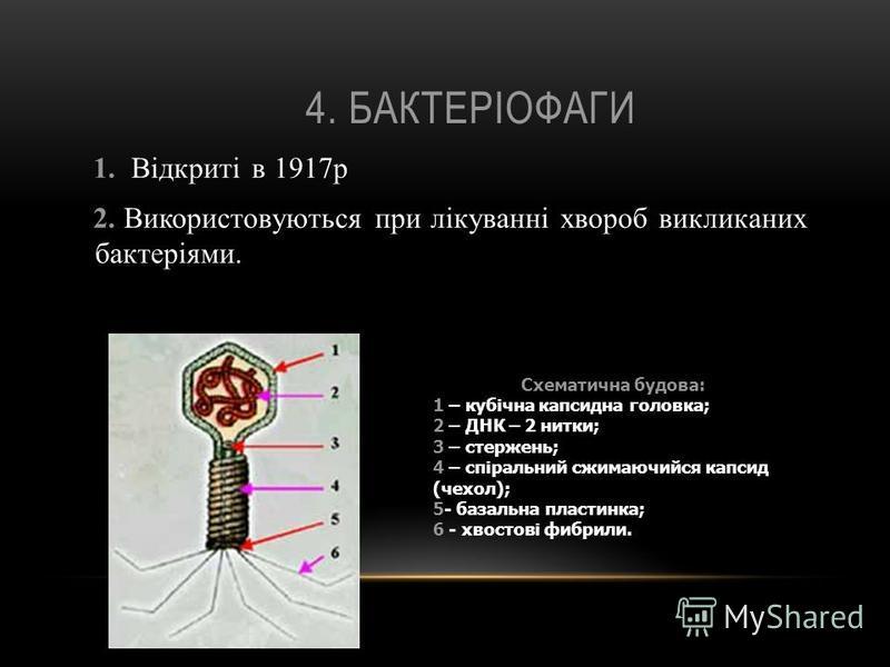 4. БАКТЕРІОФАГИ 1. Відкриті в 1917р 2. Використовуються при лікуванні хвороб викликаних бактеріями. Схематична будова: 1 – кубічна капсидна головка; 2 – ДНК – 2 нитки; 3 – стержень; 4 – спіральний сжимаючийся капсид (чехол); 5- базальна пластинка; 6