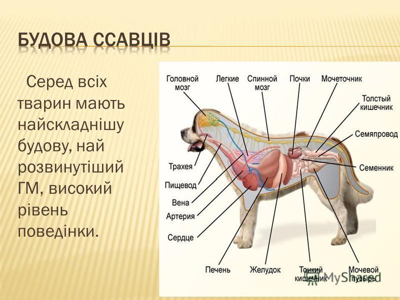 Серед всіх тварин мають найскладнішу будову, най розвинутіший ГМ, високий рівень поведінки.