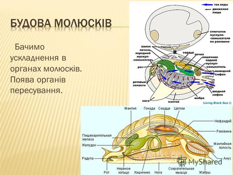 Бачимо ускладнення в органах молюсків. Поява органів пересування.