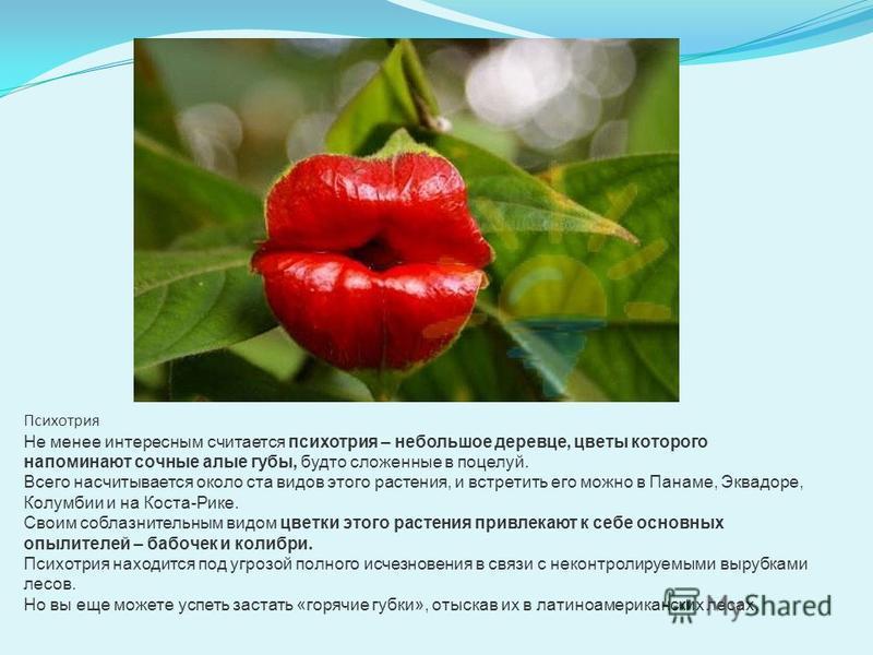 Психотрия Не менее интересным считается психотрия – небольшое деревце, цветы которого напоминают сочные алые губы, будто сложенные в поцелуй. Всего насчитывается около ста видов этого растения, и встретить его можно в Панаме, Эквадоре, Колумбии и на