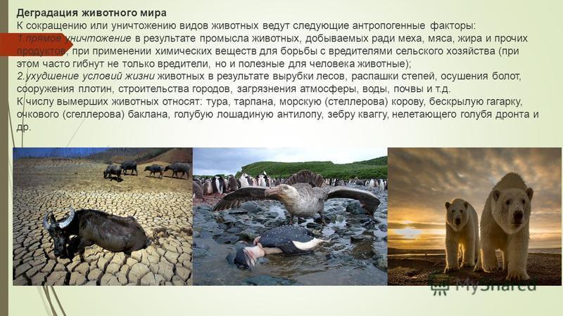 Деградация животного мира К сокращению или уничтожению видов животных ведут следующие антропогенные факторы: 1. прямое уничтожение в результате промысла животных, добываемых ради меха, мяса, жира и прочих продуктов, при применении химических веществ