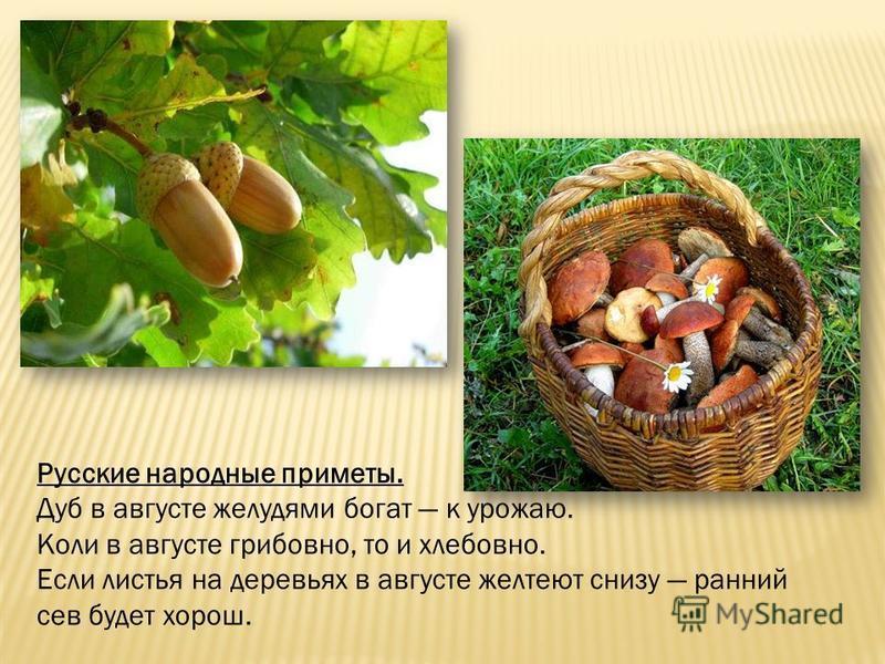 Русские народные приметы. Дуб в августе желудями богат к урожаю. Коли в августе грибов но, то и хлебов но. Если листья на деревьях в августе желтеют снизу ранний сев будет хорош.
