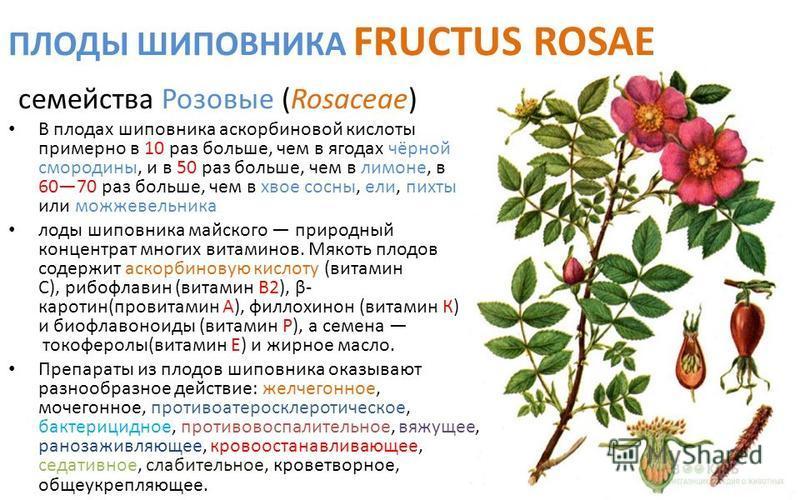 ПЛОДЫ ШИПОВНИКА FRUCTUS ROSAE семейства Розовые (Rosaceae) В плодах шиповника аскорбиновой кислоты примерно в 10 раз больше, чем в ягодах чёрной смородины, и в 50 раз больше, чем в лимоне, в 6070 раз больше, чем в хвое сосны, ели, пихты или можжевель