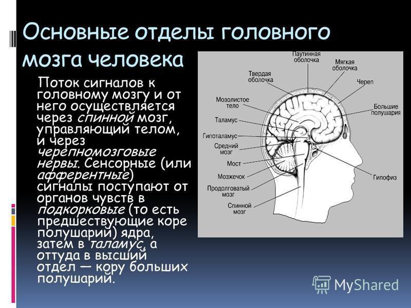 Основные отделы головного мозга человека Поток сигналов к головному мозгу и от него осуществляется через спинной мозг, управляющий телом, и через черепно-мозговые нервы. Сенсорные (или афферентные) сигналы поступают от органов чувств в подкорковые (т