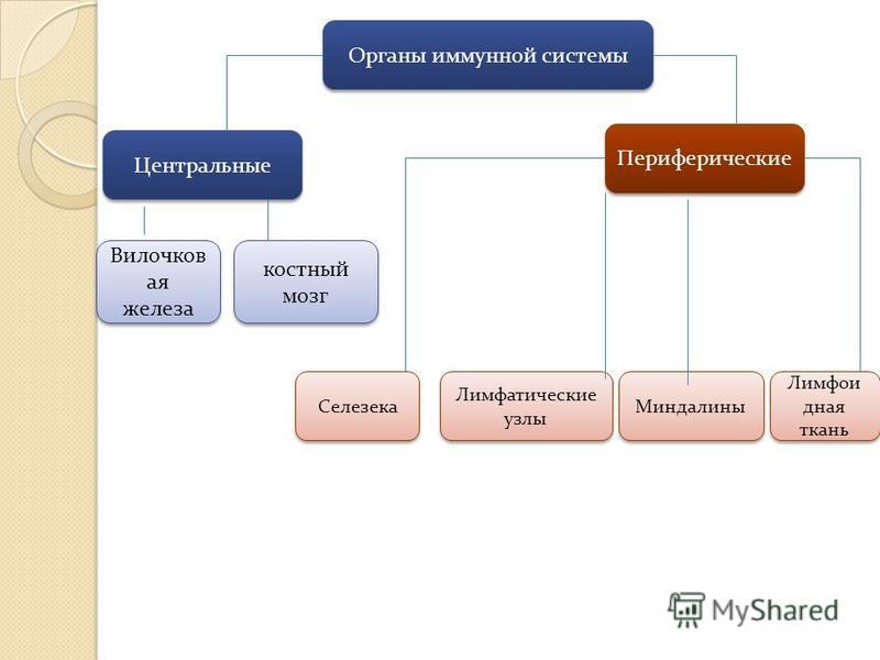 Органы иммунной системы Центральные Периферические Вилочков ая железа костный мозг Лимфатические узлы Селезека Миндалины Лимфои дная ткань