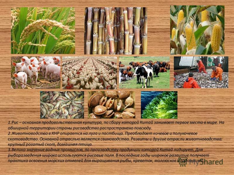 1. Рис – основная продовольственная культура, по сбору которой Китай занимает первое место в мире. На обширной территории страны рисоводство распространено повсюду. 2. Животноводство в КНР опирается на луга и пастбища. Преобладает кочевое и полукочев