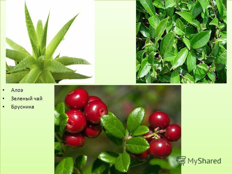 Алоэ Зеленый чай Брусника Алоэ Зеленый чай Брусника