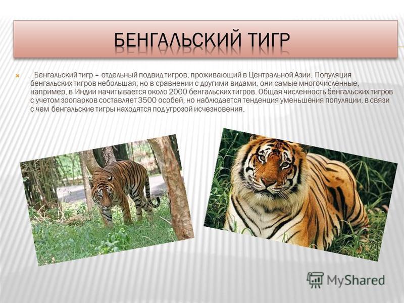 Бенгальский тигр – отдельный подвид тигров, проживающий в Центральной Азии. Популяция бенгальских тигров небольшая, но в сравнении с другими видами, они самые многочисленные, например, в Индии начитывается около 2000 бенгальских тигров. Общая численн