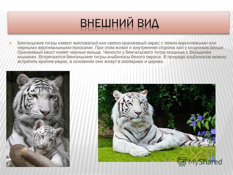 Бенгальские тигры имеют желтоватый или светло-оранжевый окрас с темно-коричневыми или черными вертикальными полосами. При этом живот и внутренняя сторона лап у хищников белые. Оранжевый хвост имеет черные кольца. Челюсти у бенгальского тигра мощные с