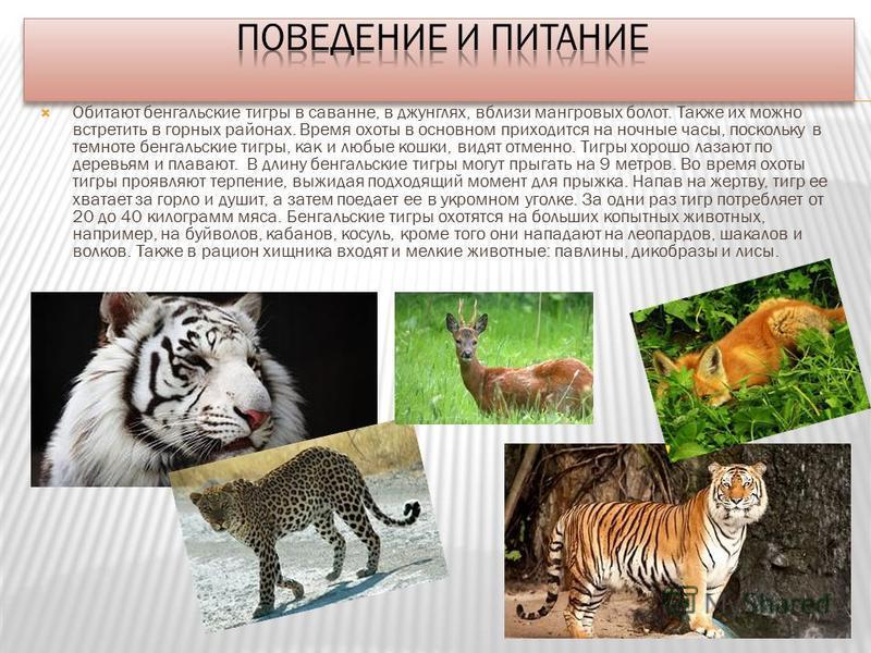 Обитают бенгальские тигры в саванне, в джунглях, вблизи мангровых болот. Также их можно встретить в горных районах. Время охоты в основном приходится на ночные часы, поскольку в темноте бенгальские тигры, как и любые кошки, видят отменно. Тигры хорош