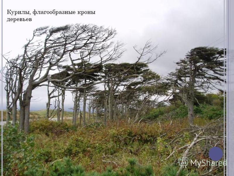 Курилы, флагообразные кроны деревьев