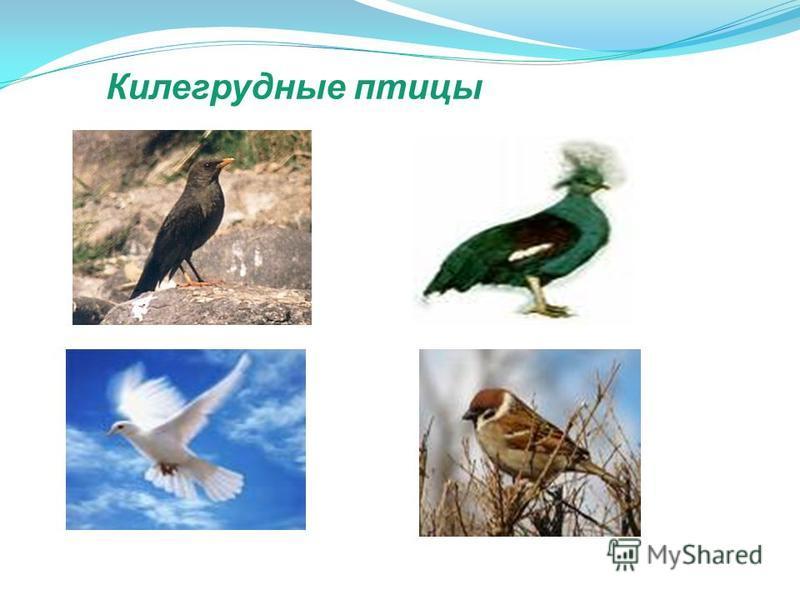 Килегрудные птицы