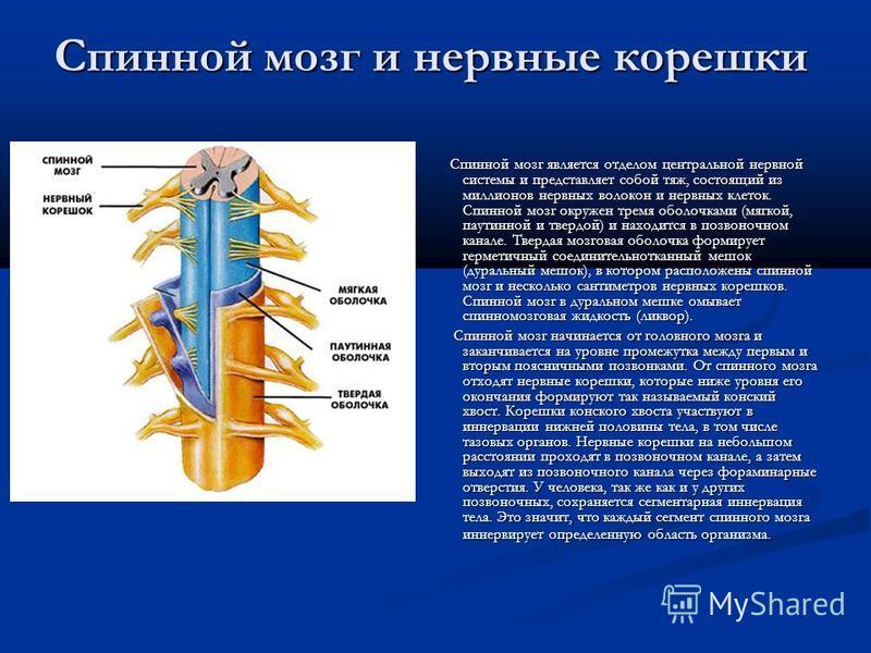 Спинной мозг и нервные корешки Спинной мозг является отделом центральной нервной системы и представляет собой тяж, состоящий из миллионов нервных волокон и нервных клеток. Спинной мозг окружен тремя оболочками (мягкой, паутинной и твердой) и находитс