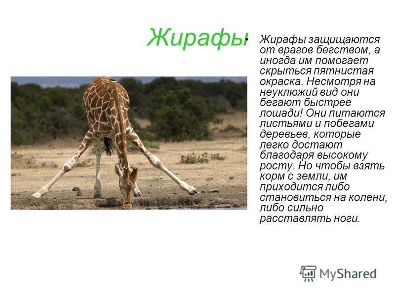 Жирафы Жирафы защищаются от врагов бегством, а иногда им помогает скрыться пятнистая окраска. Несмотря на неуклюжий вид они бегают быстрее лошади! Они питаются листьями и побегами деревьев, которые легко достают благодаря высокому росту. Но чтобы взя