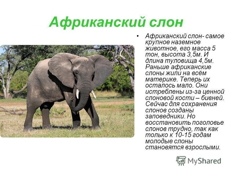 Африканский слон Африканский слон- самое крупное наземное животное, его масса 5 тон, высота 3,5 м. И длина туловища 4,5 м. Раньше африканские слоны жили на всём материке. Теперь их осталось мало. Они истреблены из-за ценной слоновой кости – бивней. С