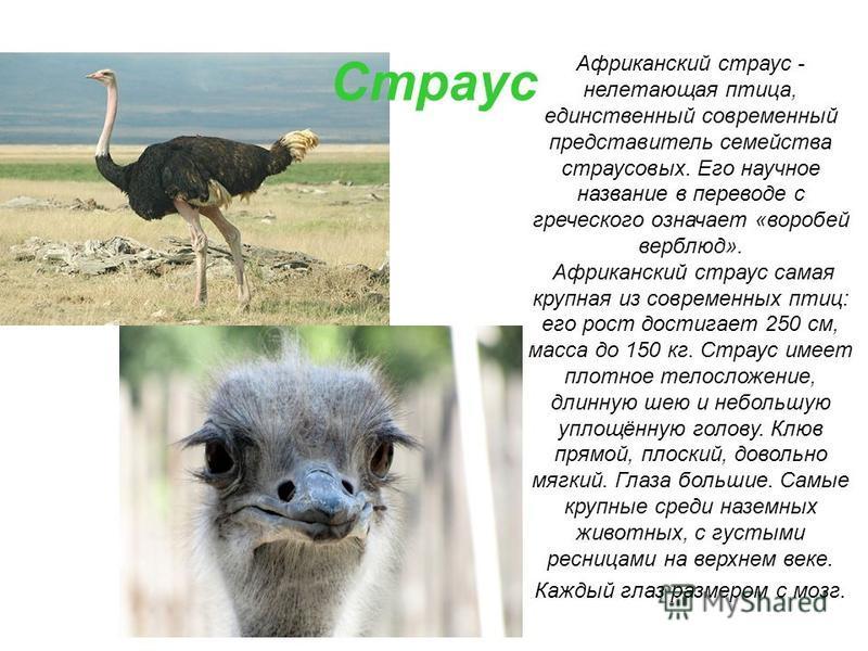 Страус Африканский страус - нелетающая птица, единственный современный представитель семейства страусовых. Его научное название в переводе с греческого означает «воробей верблюд». Африканский страус самая крупная из современных птиц: его рост достига
