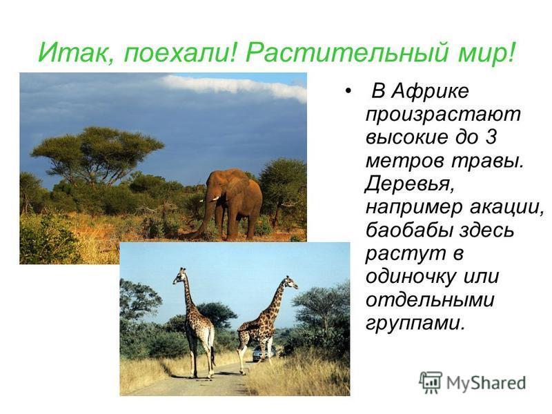 Итак, поехали! Растительный мир! В Африке произрастают высокие до 3 метров травы. Деревья, например акации, баобабы здесь растут в одиночку или отдельными группами.