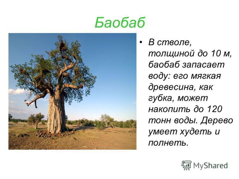Баобаб В стволе, толщиной до 10 м, баобаб запасает воду: его мягкая древесина, как губка, может накопить до 120 тонн воды. Дерево умеет худеть и полнеть.
