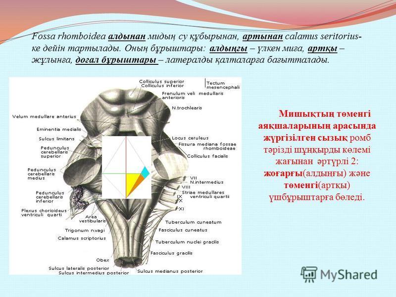 Fossa rhomboidea онтогенезі бойынша 3 бөлімнің қалыптасуы болып саналады Жоғарғы бөлігі, pars superior, ромб тәрізді ми қылтасынан, isthmus rhombencephali, пайда болып, pedunculi cerebellares superiors, арасында орналасады. Аралық бөлігі, pars interm