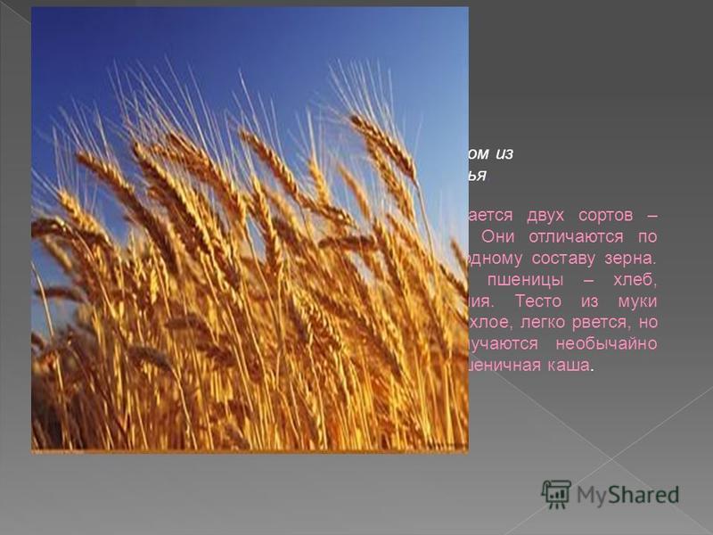 ПШЕНИЦА- родом из Средиземноморья. Пшеница выращивается двух сортов – твердая и мягкая. Они отличаются по белковому и углеводному составу зерна. Из муки твердой пшеницы – хлеб, макаронные изделия. Тесто из муки мягкой пшеницы рыхлое, легко рвется, но