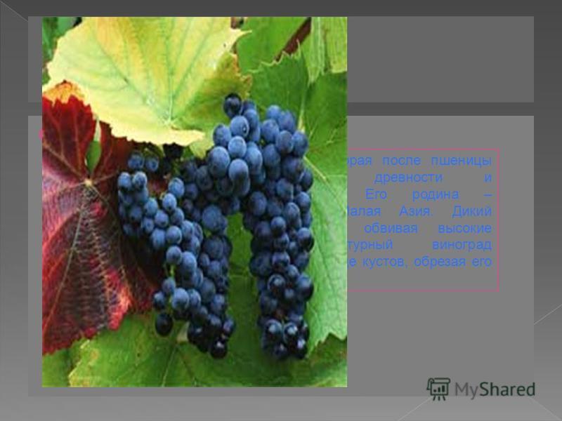 Виноград ВИНОГРАД - вторая после пшеницы культура по древности и распространению. Его родина – Закавказье и Малая Азия. Дикий виноград растет, обвивая высокие деревья.Культурный виноград возделывают в виде кустов, обрезая его ветки – лозы.