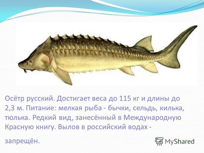 Осётр русский. Достигает веса до 115 кг и длины до 2,3 м. Питание: мелкая рыба - бычки, сельдь, килька, тюлька. Редкий вид, занесённый в Международную Красную книгу. Вылов в российский водах - запрещён.