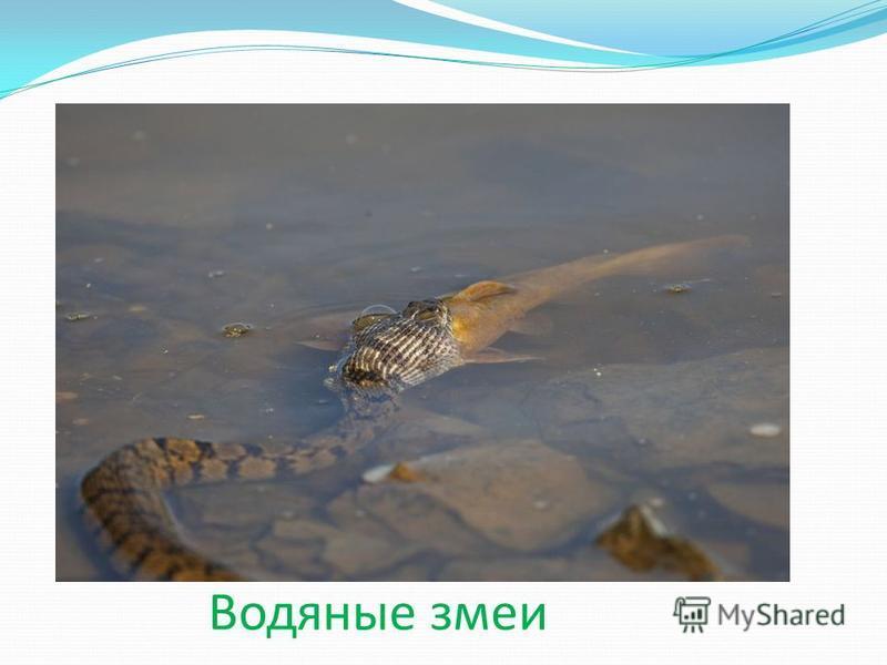 Водяные змеи