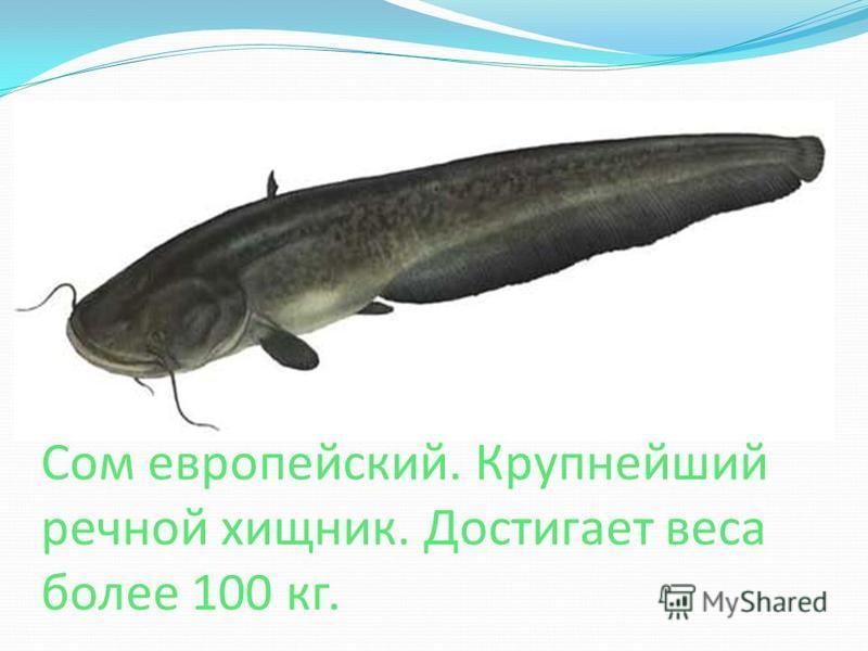 Сом европейский. Крупнейший речной хищник. Достигает веса более 100 кг.