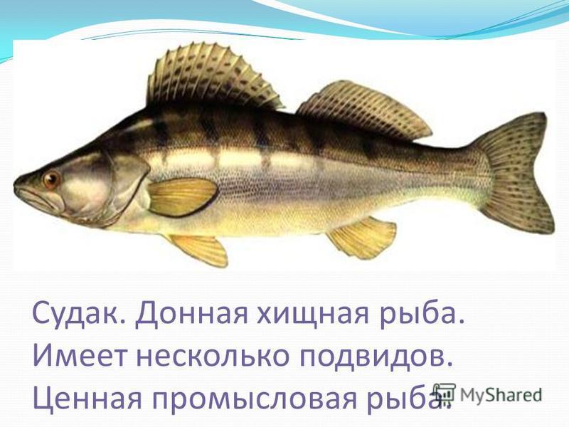 Судак. Донная хищная рыба. Имеет несколько подвидов. Ценная промысловая рыба.