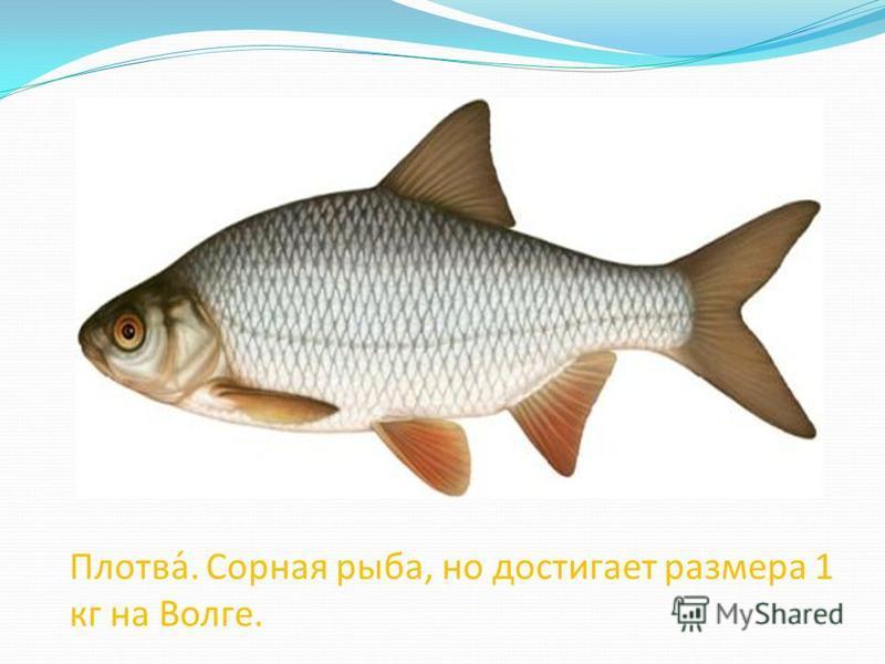 Плотва́. Сорная рыба, но достигает размера 1 кг на Волге.