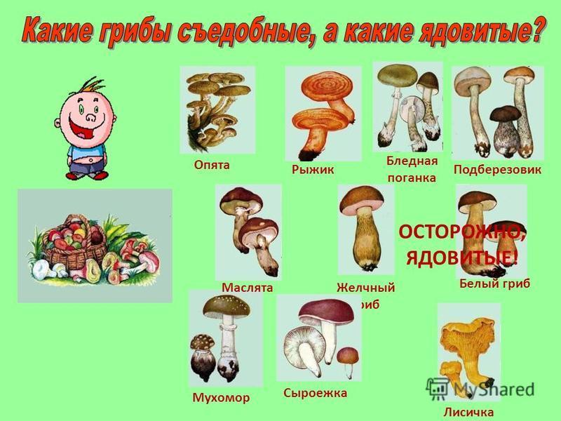 Опята Желчный гриб Рыжик Бледная поганка Белый гриб Мухомор Сыроежка ОСТОРОЖНО, ЯДОВИТЫЕ! Лисичка Подберезовик Маслята