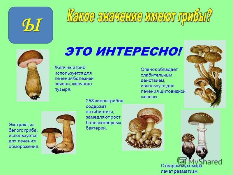 ЭТО ИНТЕРЕСНО! Экстракт, из белого гриба, используется для лечения обморожения. Желчный гриб используется для лечения болезней печени, желчного пузыря. Отваром мухомора лечат ревматизм. Опенок обладает слабительным действием, используют для лечения щ