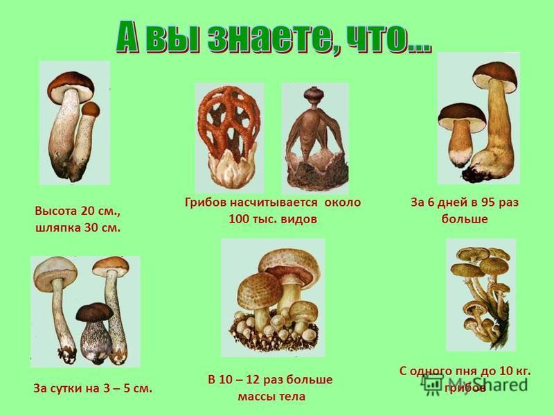 Грибов насчитывается около 100 тыс. видов В 10 – 12 раз больше массы тела Высота 20 см., шляпка 30 см. За 6 дней в 95 раз больше За сутки на 3 – 5 см. С одного пня до 10 кг. грибов