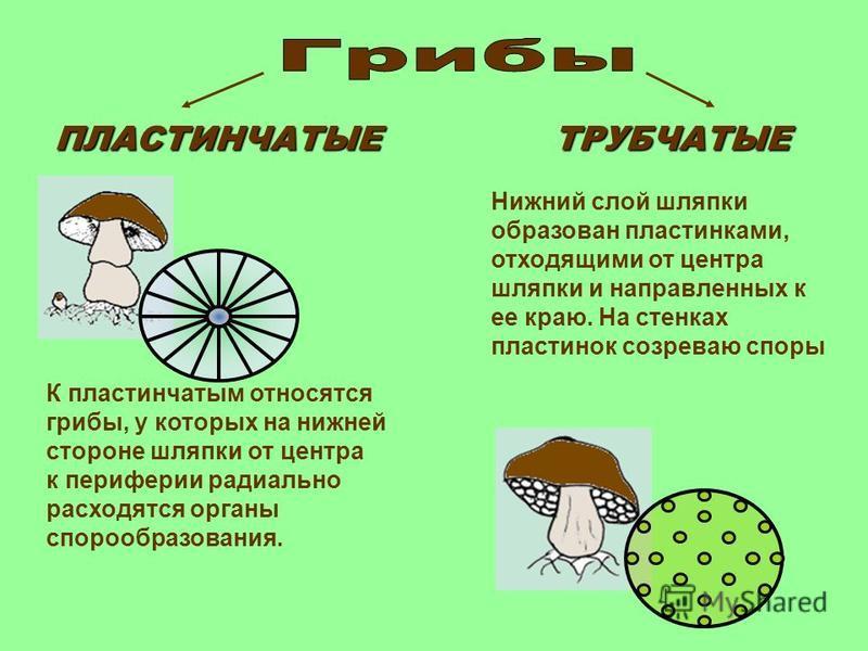 ПЛАСТИНЧАТЫЕТРУБЧАТЫЕ К пластинчатым относятся грибы, у которых на нижней стороне шляпки от центра к периферии радиально расходятся органы спорообразования. Нижний слой шляпки образован пластинками, отходящими от центра шляпки и направленных к ее кра