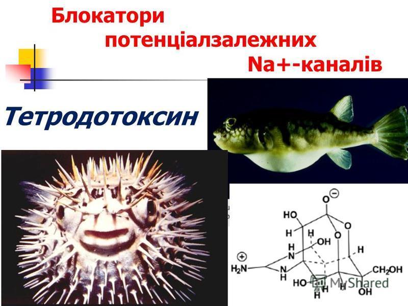 Блокатори потенціалзалежних Na+-каналів Тетродотоксин