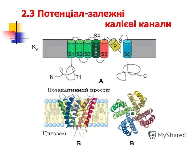 2.3 Потенціал-залежні калієві канали