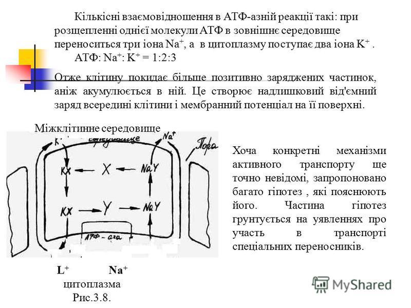 L + Na + цитоплазма Рис.3.8. Кількісні взаємовідношення в АТФ-азній реакції такі: при розщепленні однієї молекули АТФ в зовнішнє середовище переноситься три іона Na +, а в цитоплазму поступає два іона K +. АТФ: Na + : K + = 1:2:3 Отже клітину покидає