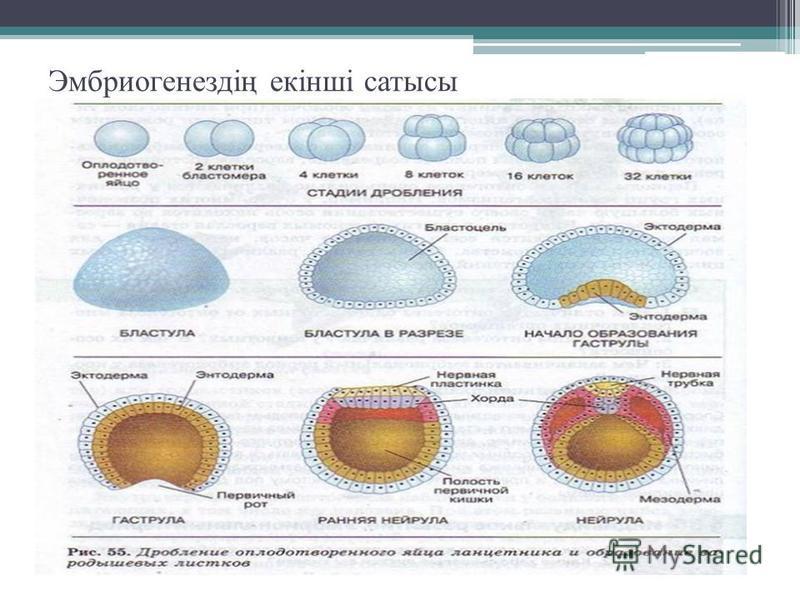 Эмбриогенездің екінші статусы