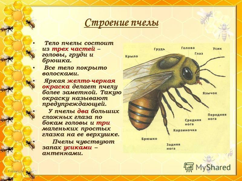 Строение пчелы Тело пчелы состоит из трех частей – головы, груди и брюшка. Все тело покрыто волосками. Яркая желто-черная окраска делает пчелу более заметной. Такую окраску называют предупреждающей. У пчелы два больших сложных глаза по бокам головы и