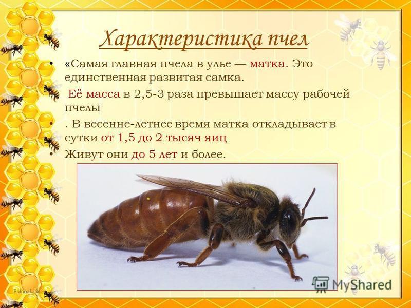 Характеристика пчел « Самая главная пчела в улье матка. Это единственная развитая самка. Её масса в 2,5-3 раза превышает массу рабочей пчелы. В весенне-летнее время матка откладывает в сутки от 1,5 до 2 тысяч яиц Живут они до 5 лет и более.