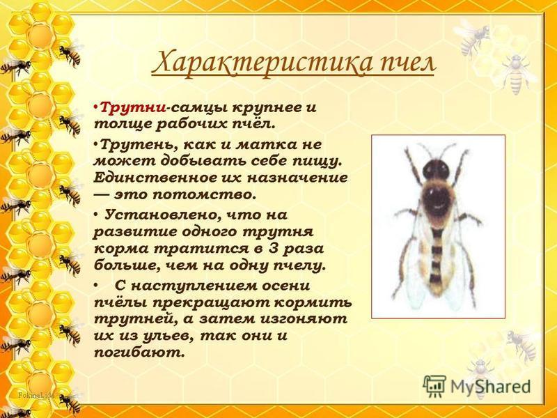 Трутни-самцы крупнее и толще рабочих пчёл. Трутень, как и матка не может добывать себе пищу. Единственное их назначение это потомство. Установлено, что на развитие одного трутня корма тратится в 3 раза больше, чем на одну пчелу. С наступлением осени