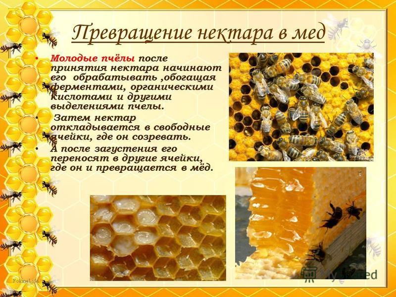 Молодые пчёлы после принятия нектара начинают его обрабатывать,обогащая ферментами, органическими кислотами и другими выделениями пчелы. Затем нектар откладывается в свободные ячейки, где он созревать. А после загустения его переносят в другие ячейки