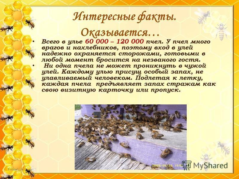 Всего в улье 60 000 – 120 000 пчел. У пчел много врагов и нахлебников, поэтому вход в улей надежно охраняется сторожами, готовыми в любой момент бросится на незваного гостя. Ни одна пчела не может проникнуть в чужой улей. Каждому улью присущ особый з