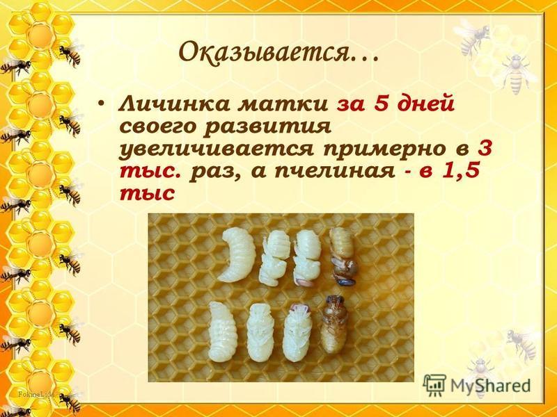 Личинка матки за 5 дней своего развития увеличивается примерно в 3 тыс. раз, а пчелиная - в 1,5 тыс Оказывается…