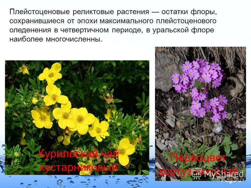 Page 6 Плейстоценовые реликтовые растения остатки флоры, сохранившиеся от эпохи максимального плейстоценового оледенения в четвертичном периоде, в уральской флоре наиболее многочисленны. Курильский чай кустарниковый Первоцвет кортузовидный
