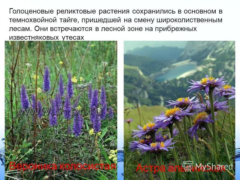 Page 7 Голоценовые реликтовые растения сохранились в основном в темнохвойной тайге, пришедшей на смену широколиственным лесам. Они встречаются в лесной зоне на прибрежных известняковых утесах Вероника колосистая Астра альпийская